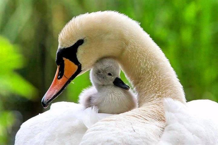 El poder del Cisne