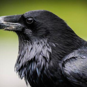 El  Cuervo como animal de poder.