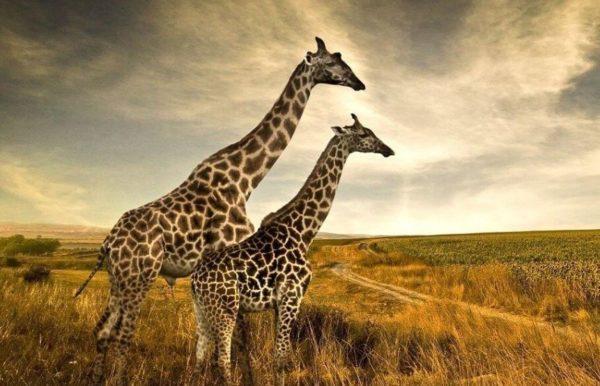 La girafa animal de poder