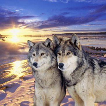 Animales de poder (Lobo)